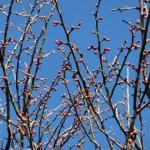 ume-blossom_53