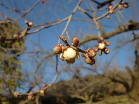 ume-blossom_52