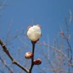 ume-blossom_50