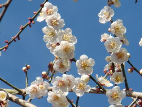 ume-blossom_49