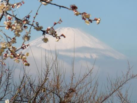 ume-blossom_48