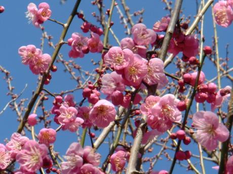 ume-blossom_46