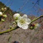 ume-blossom_45