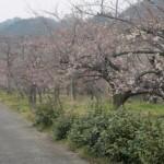 ume-blossom_44