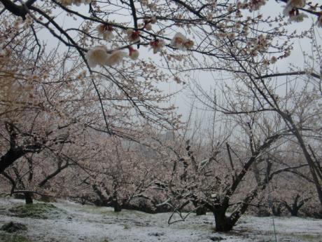 ume-blossom_42
