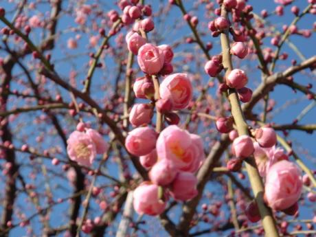 ume-blossom_40