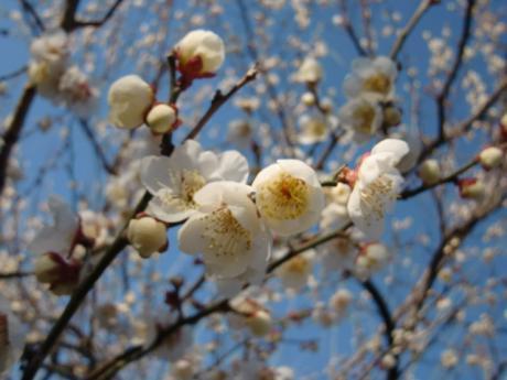 ume-blossom_39