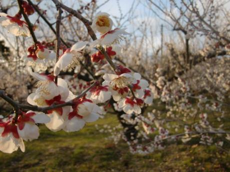 ume-blossom_38