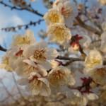 ume-blossom_37
