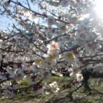 ume-blossom_36