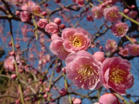 ume-blossom_34