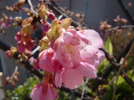 ume-blossom_32