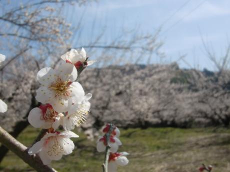ume-blossom_31