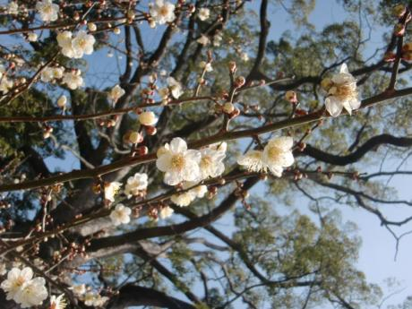 ume-blossom_30