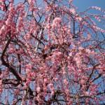 ume-blossom_29