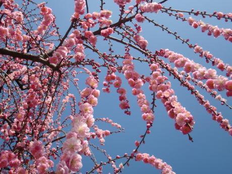 ume-blossom_28