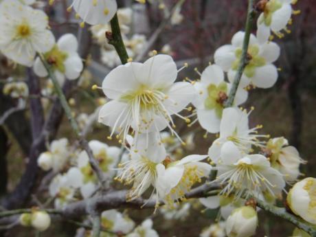 ume-blossom_27