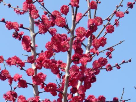 ume-blossom_23