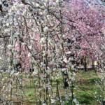 ume-blossom_22