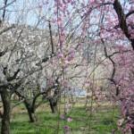 ume-blossom_21