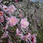 ume-blossom_20