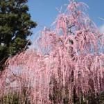 ume-blossom_17