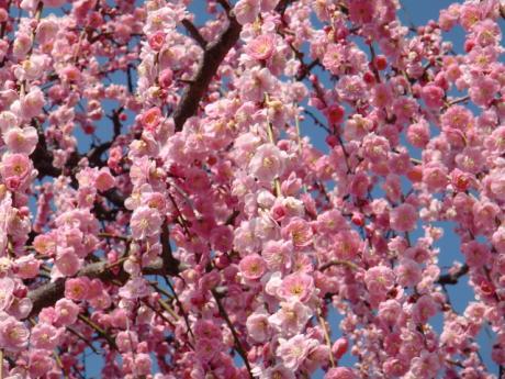 ume-blossom_16