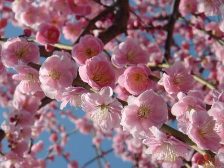 ume-blossom_14