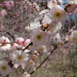 ume-blossom_13