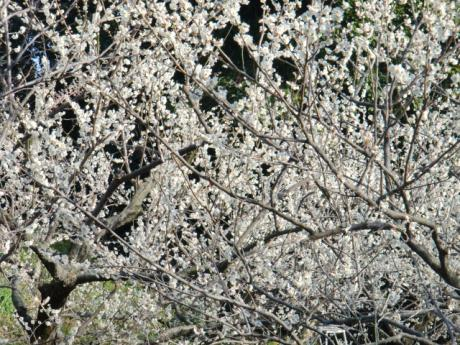 ume-blossom_9