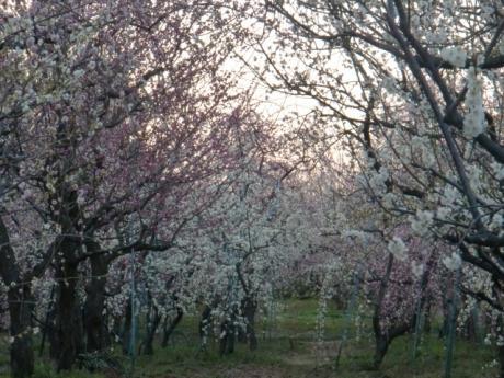 ume-blossom_8