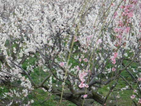 ume-blossom_7