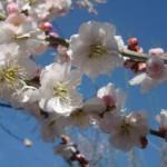 ume-blossom_5