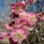 ume-blossom_4