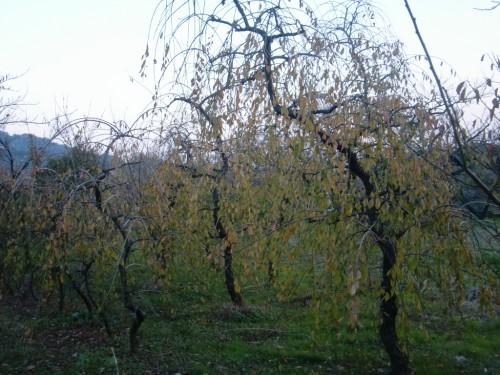 秋の枝垂れ梅の木