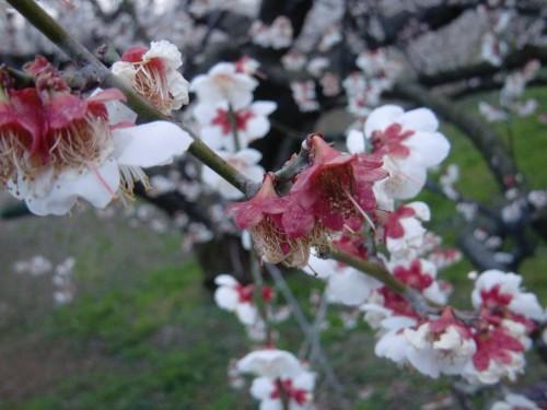 十郎梅の花収め