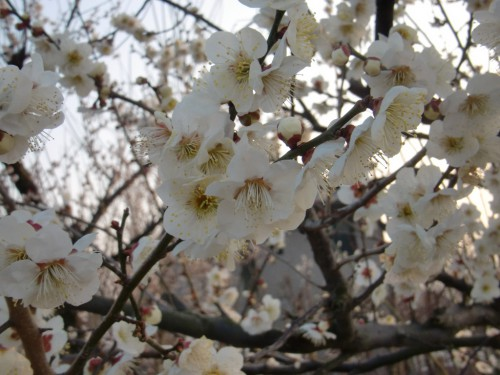 白加賀の花