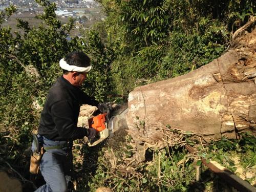 倒木の伐採
