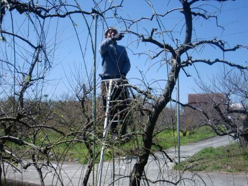 枝垂れの剪定