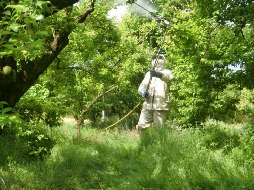 梅の消毒作業