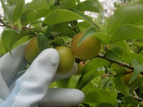 完熟小梅の収穫