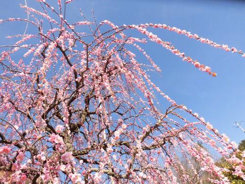 昇珠園 藤ぼたん枝垂れ梅
