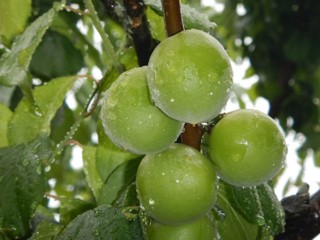 生梅を通販で取り寄せて梅酒用やジュース用に加工するなら~【昇珠園】は数量・期間限定で提供~