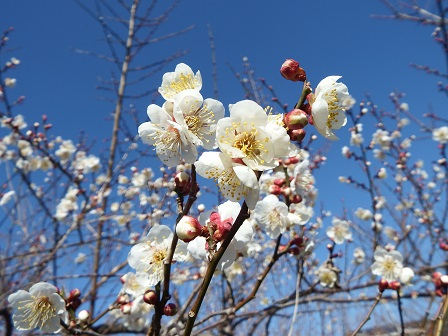 十郎梅の花